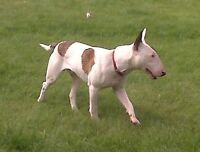 English Bull Terriers-PUREBRED