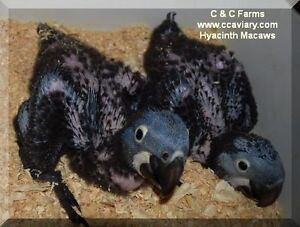 Baby Parrots - Macaws and Red-Sided Eclectus - C & C Farms