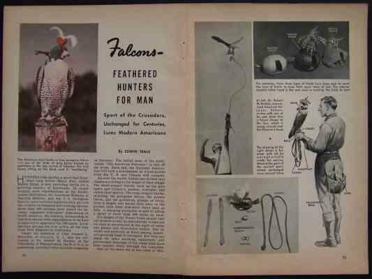 American Hawk PEREGRINE FALCONS 1941 FALCONRY pictorial