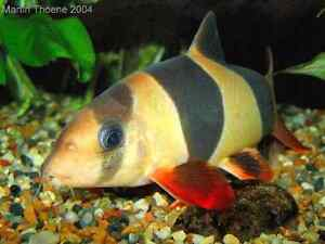 WANTED CLOWN LOACHES