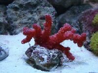 MARINE FISH / LAST LARGE CHILLII CORAL , OPENING WELL POLYPS ARE OUT DAILY