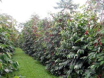 Coffee Bean Apparatus Seeds - HAWAIIA KONA - Great House Plant - ONE POUND SEEDS