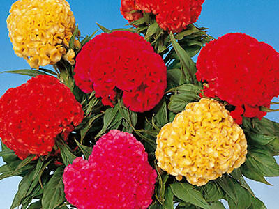 Flower Seed: Chief Mix Celosia Seeds Fresh ...