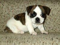 Beautiful Boston Terrier x Pug Puppies