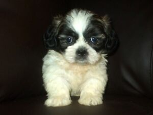 Absolutely Stunning SHIH TZU Puppies - Males and Females!