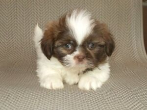 Absolutely Stunning SHIH TZU Puppies - 1 Female, 2 Males Left!
