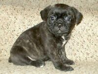 Beautiful Brindle Boston Terrier x Pug Puppies