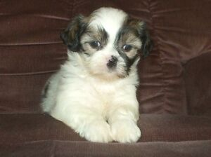 Absolutely Stunning SHIH TZU Puppies Available!