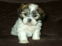 Absolutely Stunning SHIH TZU Puppies Available!!
