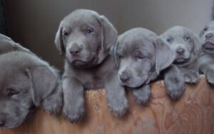 Silver Lab Puppies (2 Litters)