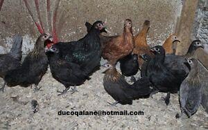 Poule naine, Canard et Faisan