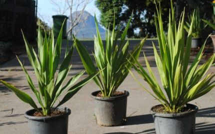 Gymea Lily-Doryanthus Excelsa andSpear lilly- Doranthes Palmeri