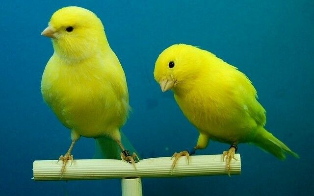 Canaries | in Cheltenham, Gloucestershire | Gumtree