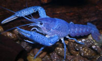 Electric Blue Lobsters!