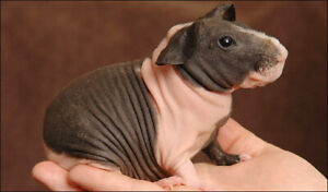 Adorable friendly Skinny Pigs