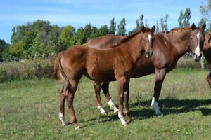 2017 Appaloosa Filly