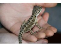 Bearded Dragon with Full Setup- Can Deliver