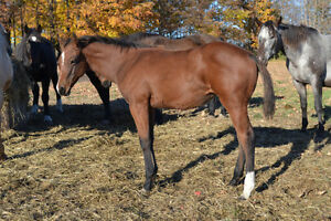 2015 Registered Appaloosa Filly