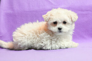 HAVANESE PUPPIES - Nonshed, Hypoallergenic Small Family Pets