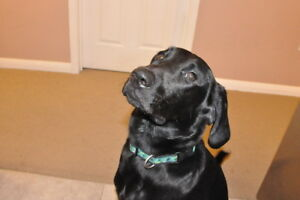 Theo. Young Lab X, Male Dog, Seeks Active New Home