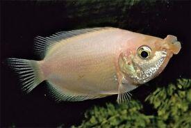 Pink kissing gourami tropical Community fish