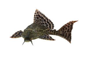 Poisson plecostomus (laveur de vitre - mangeur d'algues)