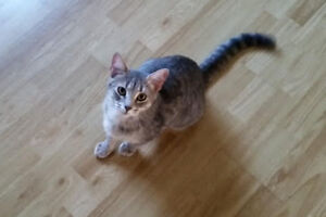 Goldie. Absolute Sweetie, Adorable Female Cat For Adoption