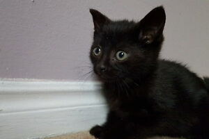 Jinxie. Entertaining Kitten Seeks Forever Home