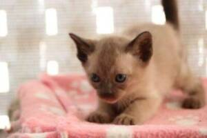 Lovely Tonkinese kittens ready October