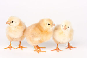Day old Chicks Chanteclers