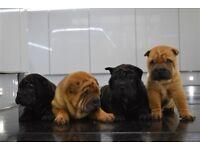 Outstanding kc reg black/red sharpei puppies