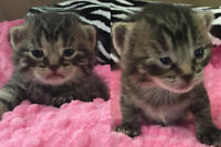 Buttertart And Sweetie Pie. Orphan Kittens Seeking Forever Home