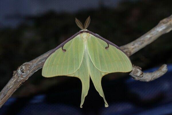5× Live Luna Moth Cocoons-(Actias luna)