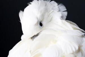 Cuddly Female Umbrella Cockatoo Looking for a new Home
