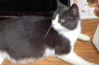 Molly. Surrogate Momma Cat Seeks Her Own Forever Home