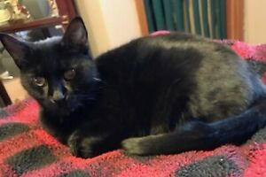 Bella. Relaxed Companion Cat For Adult Or Senior