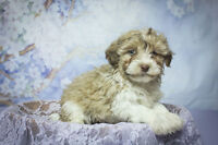 HAVANESE - Gorgeous Nonshed, Hypoallergenic family Pets