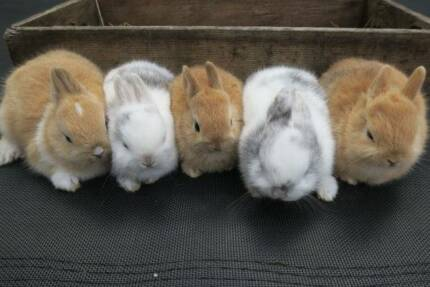 Purebred Baby Netherland Dwarf Rabbits - heaps of colours! Toorak Stonnington Area Preview