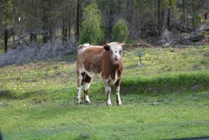 Cows, Heifer, hobby farm package, Angus, Shorthorn, Fresian cross Dubbo 2830 Dubbo Area Preview