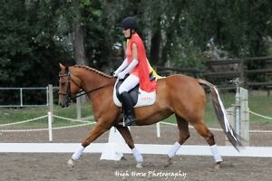6 yr old Quarter Horse/Welsh Cross Mare