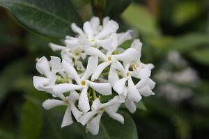 Trachelospermum jasminoides star jasmine x 1