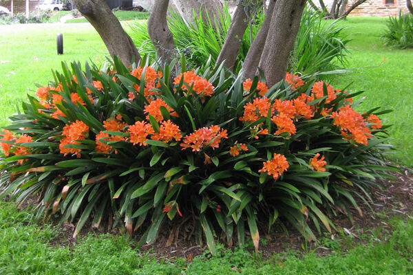 Clivia Miniata Amp Belgian Hybrids Great For Shady Areas