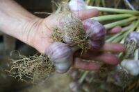 ORGANIC SEED GARLIC - Contact Us in August 2016