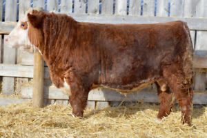Yearling Hereford Bulls for Sale