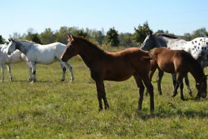 2017 Registered Appaloosa Filly