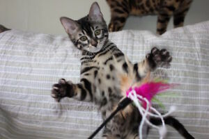 Bengal kitten, charcoal, show quality