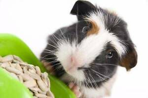 Guinea Pig Party this Sunday 1pm - bring your piggy Kallangur Pine Rivers Area Preview