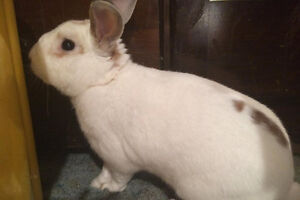 Jackson. Friendly Male Bunny Seeking A Forever Home
