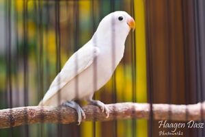 Looking for white female love bird