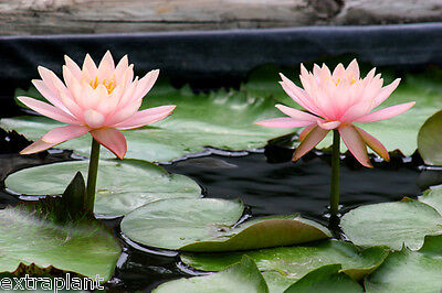 Nymphaea Colorado Pink Hardy Live Water Lily Plant Tuber Rhizome (Buy Water Lily)